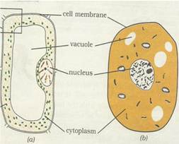 Ncert solutions for class 8 science cell structure and functions make sketches of animal and plant cells state three differences between them ccuart Gallery