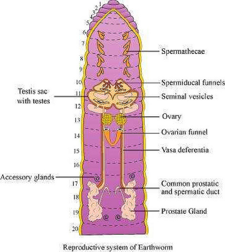 Human Leg Nerves Diagram Human Leg Nerves System Human Anatomy Chart 2 also Human Circulatory System 11 furthermore Human Circulatory System 3d With Labeled 1000 Ideas About Circulatory System On Pinterest Body Systems likewise 22 furthermore 10939697. on excretory system diagram labeled
