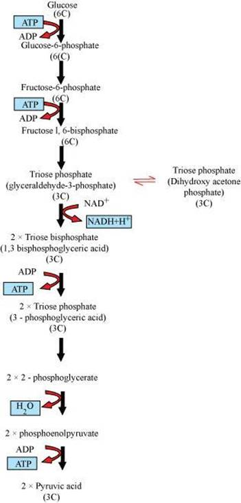 NCERT Solutions for class-11 biology chapter-14 Respiration plants ...