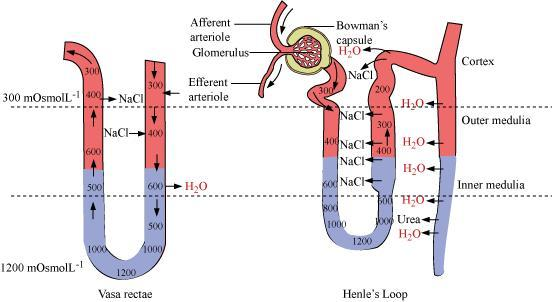 Ncert Solutions For Class 11 Biology Human Excretory System