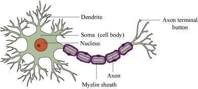 Ncert solutions for class 11 biology neural system b brain ccuart Images