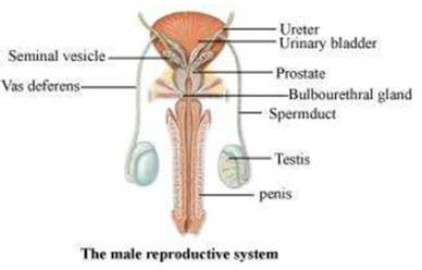 schematic diagram of male reproductive system - wiring diagram and, Muscles