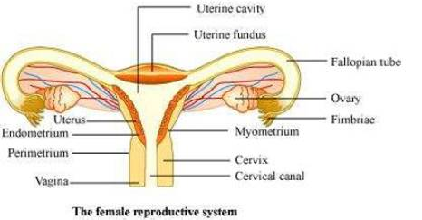 Ncert solutions for class 12 biology human reproduction draw a labeled diagram of female reproductive system ccuart Image collections