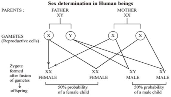Heredity and Evolution class 10 Notes Science | myCBSEguide