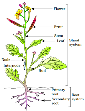 Morphology of Flowering Plants class 11 Notes Biology