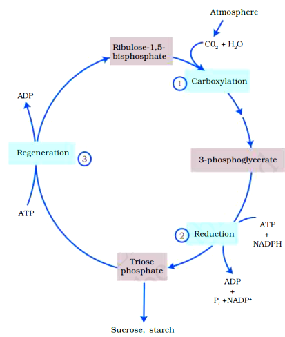 Photosynthesis in higher plants class 11 Notes Biology