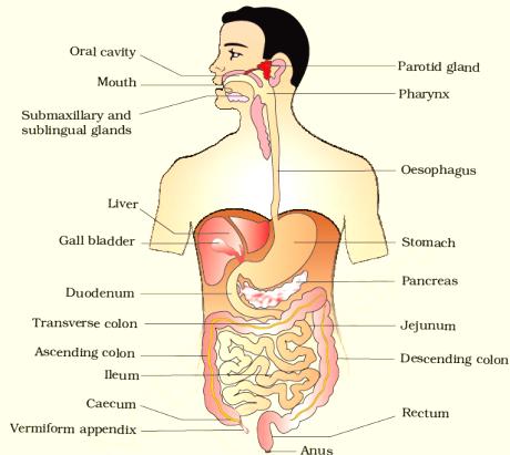 Digestion And Absorption class 11 Notes Biology | myCBSEguide | CBSE