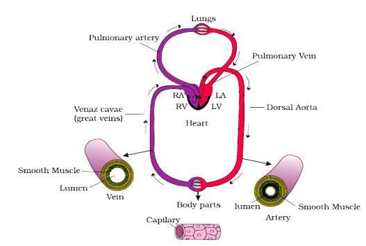 Body Fluids And Circulation class 11 Notes Biology