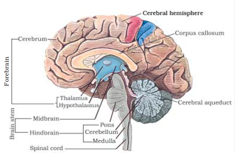 Neural Control and Coordination class 11 Notes Biology