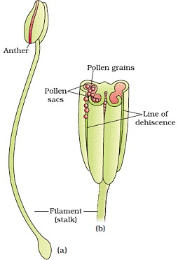 Sexual Reproduction in Flowering Plants Class 12 Notes Biology