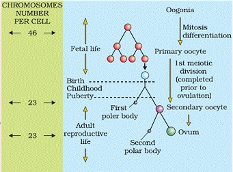 Human Reproduction Class 12 Notes Biology | myCBSEguide
