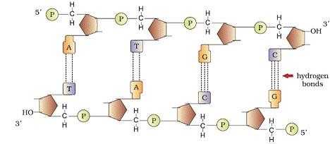 Molecular Basis of Inheritance class 12 Notes Biology